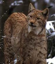 It is easy to see how the Norwegian Lynx could be confused with the Forest Cat