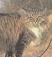 Pans Truls, the original Forest Cat breed standard