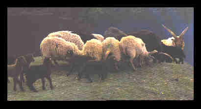 Gotlandic Sheep