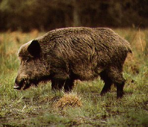 Viking Pigs Were Bred from Wild Boar